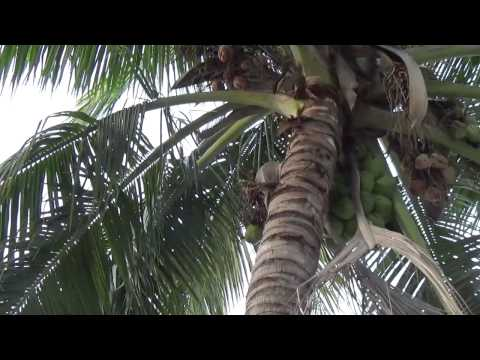 coconut tree (Cocos nucifera) is a member of the family Arecaceae (palm family).