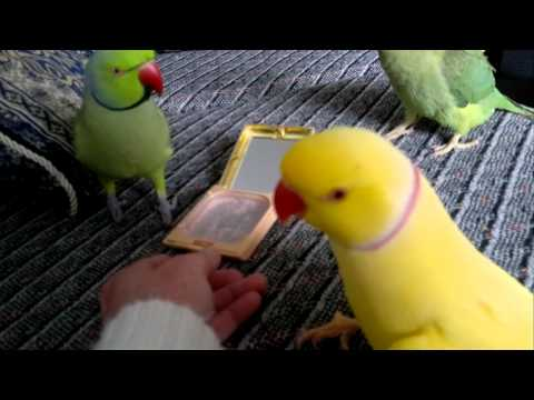 Indian Ring Neck Parrot  Talking video