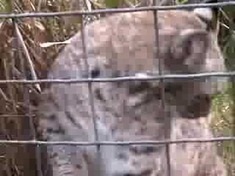 Big Cat/Little Cat, Housecat to Tigers! - Big Cat TV