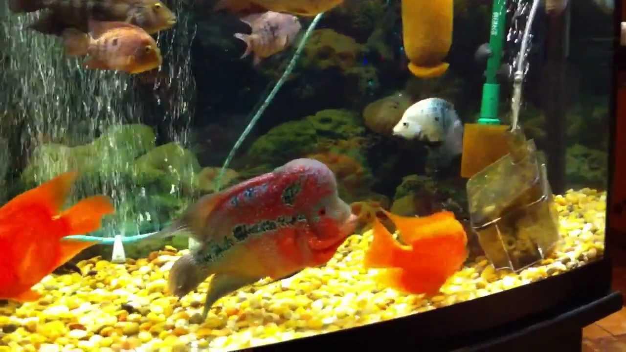 Cichlid Fish Tank Fish Tank Flowerhorn 2