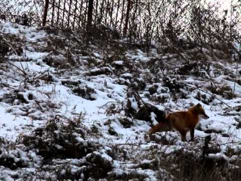 RED TAILED FOX HUNTING FOR FOOD