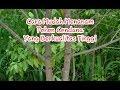 Cara Mudah Menanam Pohon Cendana Yang Berkualitas Tinggi thumbnail