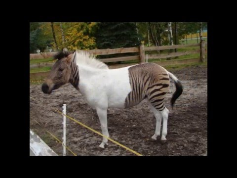 Zebroid | Amazing Animals