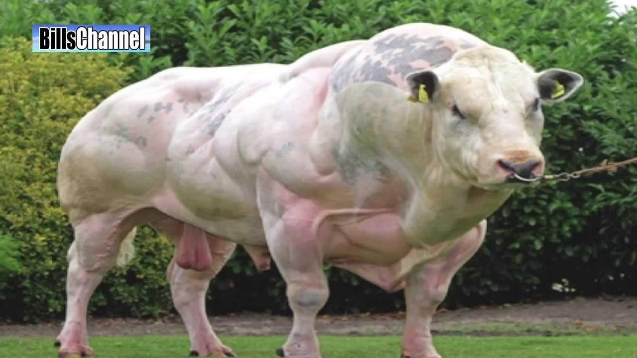 super steroid cow