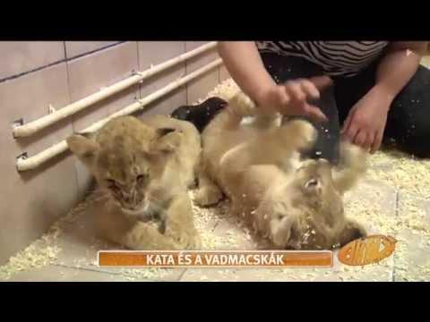 Oroszlánkölykökkel játszottak Sarka Kata gyerekei - tv2.hu/aktiv