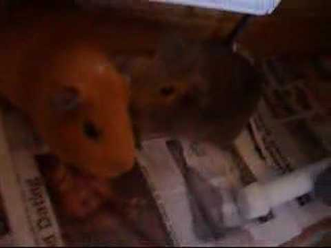 Funny Guinea pigs movie