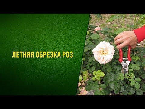 Летняя обрезка кустов роз после цветения