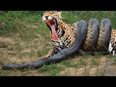 Anaconda Gigante VS Onça Pintada - Píton VS Leopardo - LUTA INCRÍVEL
