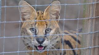 Exotic Cats Rescued from NC Cat Mill