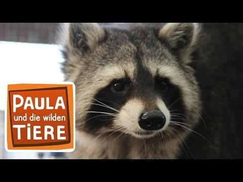 Wie wäscht der Waschbär? (Doku) | Reportage für Kinder | Paula und die wilden Tiere