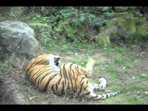 いしかわ動物園 ベンガルトラのマドラス♂