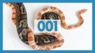 Ball Pythons VS Corn Snakes: Which are Better Pets?