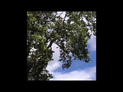 Oak tree Reduction Via Thinning (Tree Morphogenesis) in Winsford Cheshire by Cheshire Tree Surgeons
