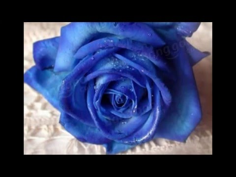 Growing Blue Roses From Seed