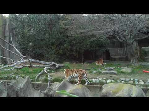 Pics For > San Diego Zoo Tiger Attack