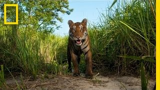 Steve Winter: On the Trail of the Tiger   Nat Geo Live