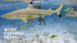 Warming waters may be changing shark migration patterns