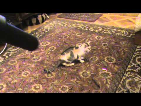 Joaca De Pisici Cu Luminita video
