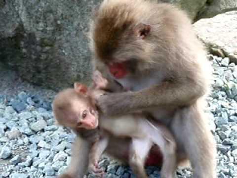 伊豆、波勝崎苑の猿(ギャルママ)Macaque Monkeys