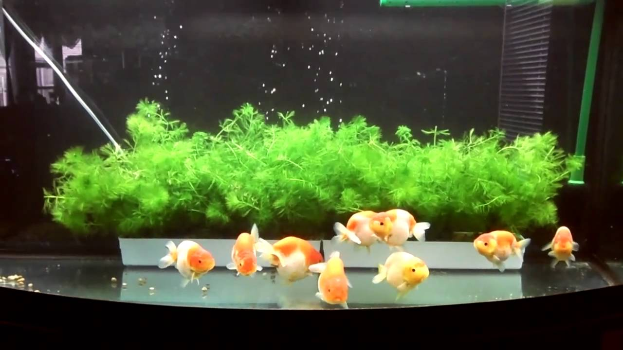 Plant for ranchu goldfish tank perfect plant for for Aquarium decoration for goldfish