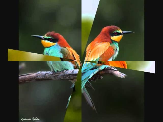 Canto de pájaros - Abejaruco
