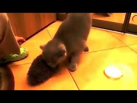 Кот, котик, смешно, прикол, ёж, ёжик, кот и ёжик,