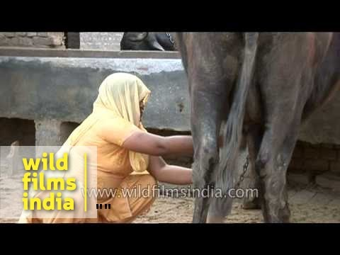 Indian village woman milking cow by hand, Uttar Pradesh
