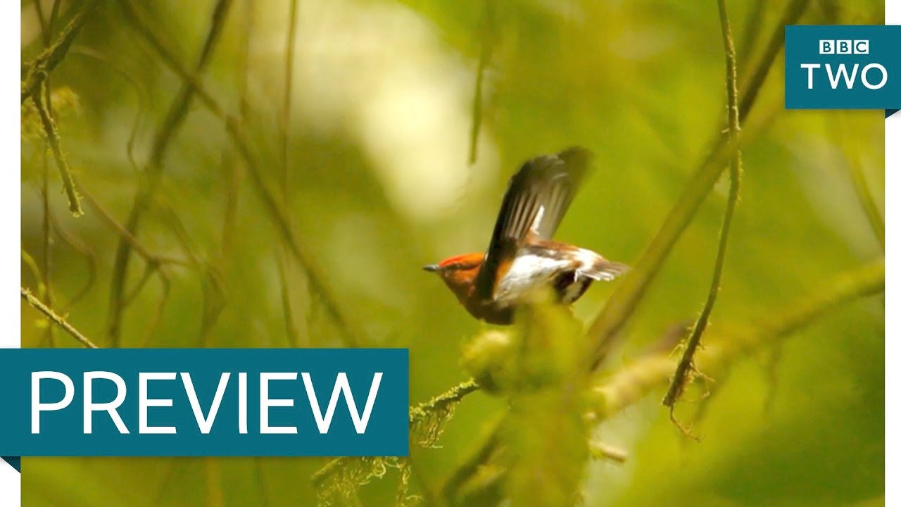 The bird that sings with its wings - Nature's Weirdest Events: Series 5 Episode 7 Preview - BBC Two