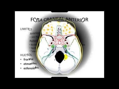 Download FOSAS CRANEALES ANATOMIA CABEZA - Batyoutube.com