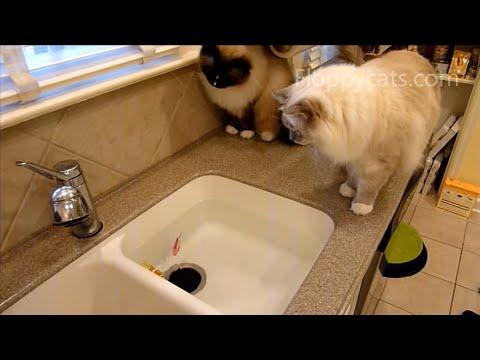 Ragdoll Cats vs. Zuru Robo Fish - Robo Fish Toy - Robofish - ねこ - ラグドール - Floppycats
