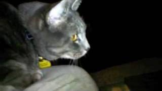 Hungry cat enjoys bird video