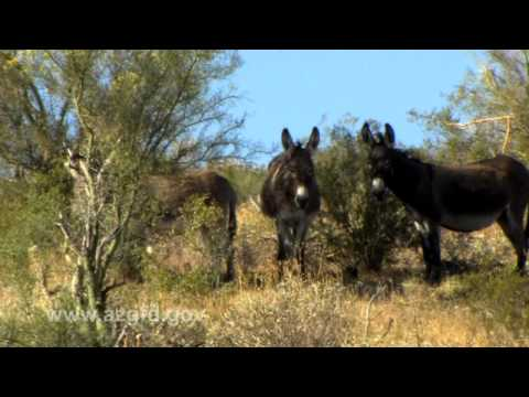 Wild Burros of Arizona.mov