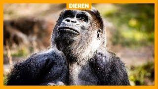 Gorilla Jambo neemt na 13 jaar afscheid van de Apenheul
