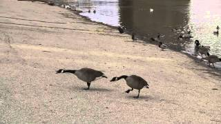 Canada Geese In Conflict Situations With Other Geese - R.a.v.e.