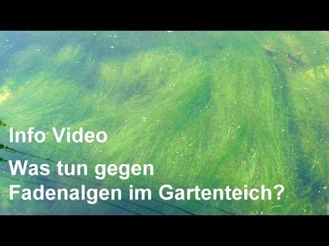 Fadenalgen Im Gartenteich - Info Für Teichbau, Teich, Teichpflege, Teichwasser - Video-Info Lesen!