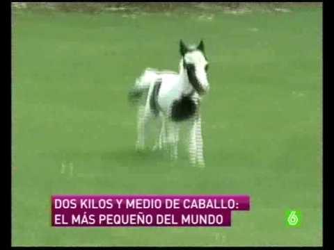 El Caballo Mas Peque O Del Mundo Avi Youtube