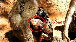 So Sad & So Pity to See Poor baby monkey David so weak by Mom Diamon Careless & Blacky Not allow.