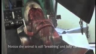 Halal Slaughter -  not viewing for under 18's or those easily upset
