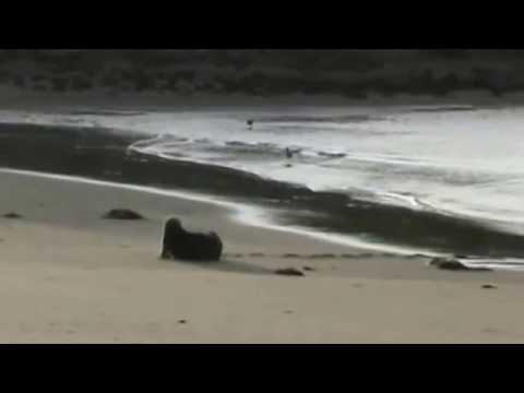Sea Otters come ashore   上陸するラッコ