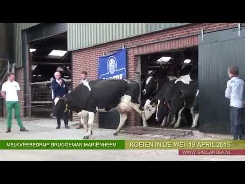 Koeien in de wei - 19 april 2015