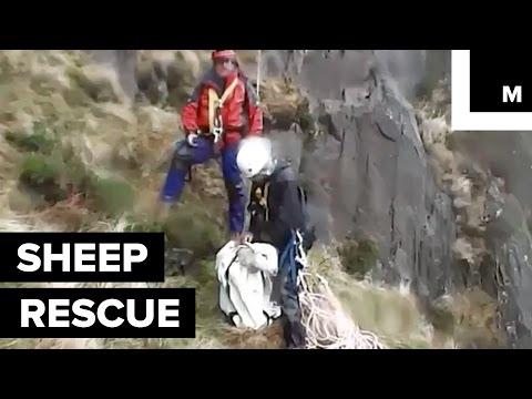 何でそうなった!?崖を登り過ぎた羊が救助される