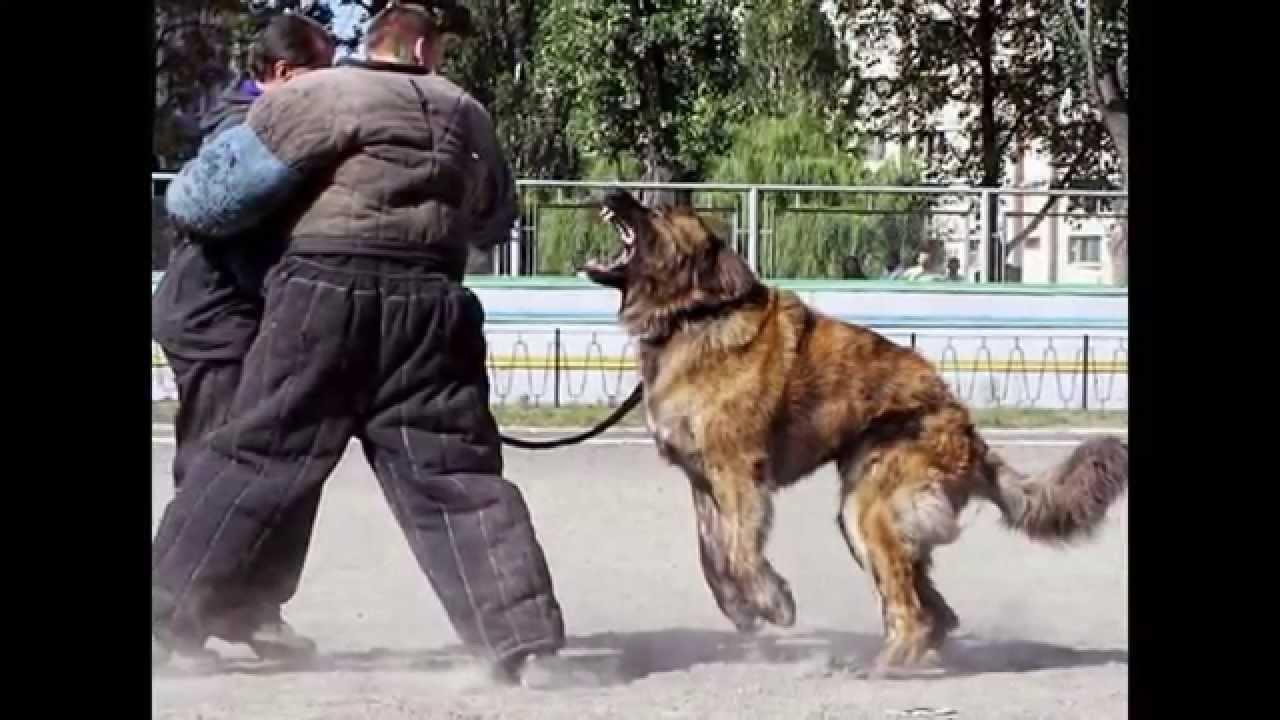 Meanest Dog Breeds
