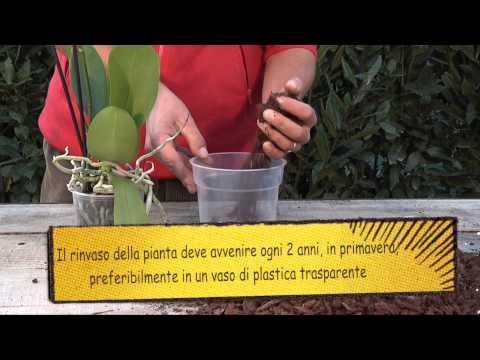 Scheda12 Phalaenopsis Broadband High