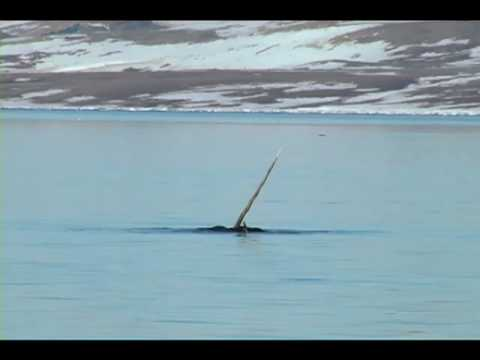 Swimming with Narwhal and Beluga - Baffin Island