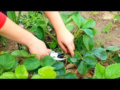 Видео как ухаживать за клубникой