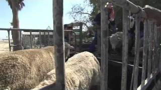 Loading sheep into the appropriate vehicles at Bahrain Livestock Company, November 2010