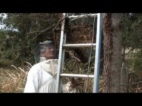 Beekeeping  How To Catch &amp  Hive Bee Swarms, 2 In 1 Day.