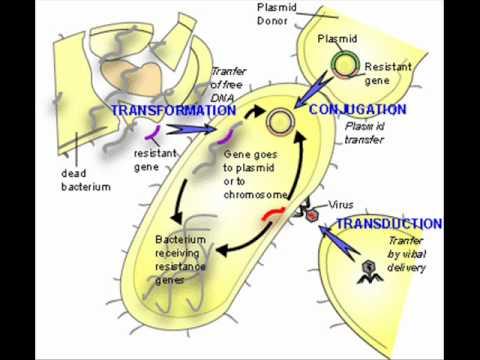 an experiment showcasing the horizontal gene transfer using escherichia coli Genomic divergence of escherichia coli strains: evidence for horizontal transfer and variation in mutation rates.