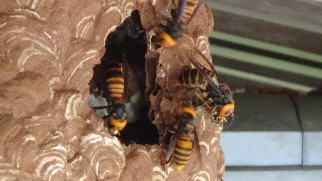 スズメバチの画像 p1_20