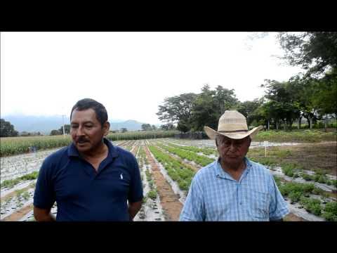 Stevia Orgánica producidas en Villaflores, Chiapas, Mex